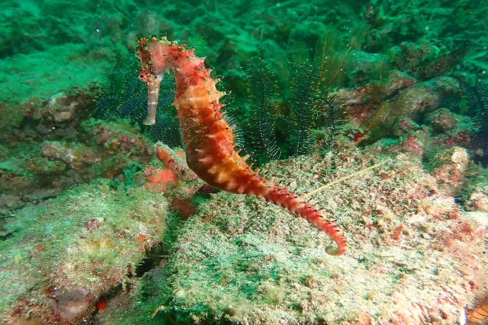 Sea horse photography taken in Bali by Nico Dives Cool