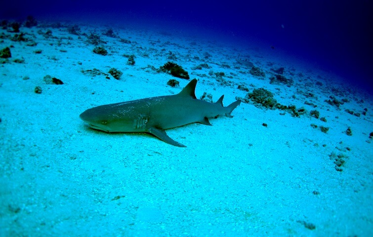 Gili mimpang underwater photography of a Reef Shark