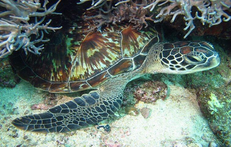Ocean turtle in Bali, Padang Bai