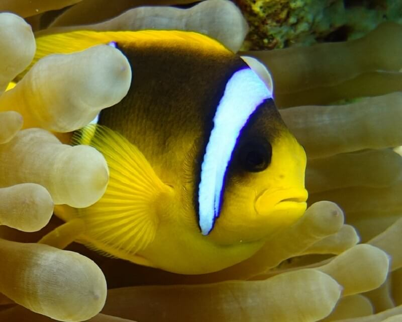 ANEMONE FISH SEBAE BALI