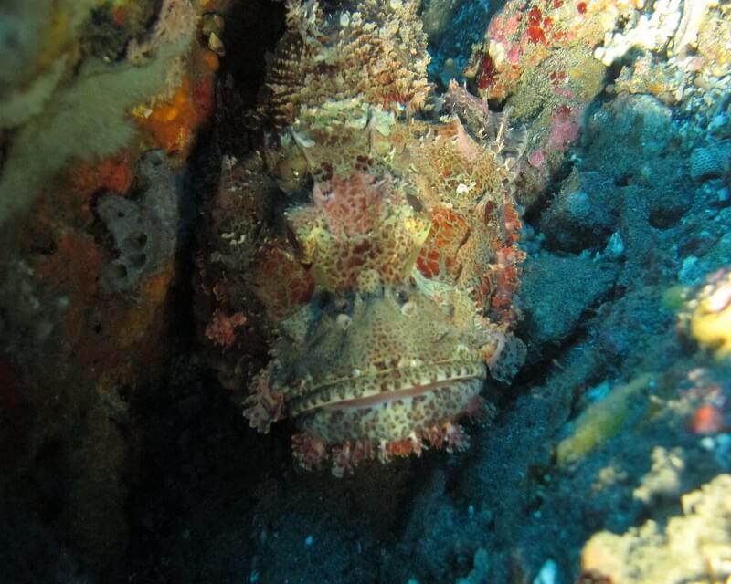 SCORPION fish spotted in Pemuteran, North Bali