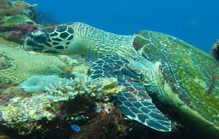 TURTLE in Pemuteran reef, North Bali