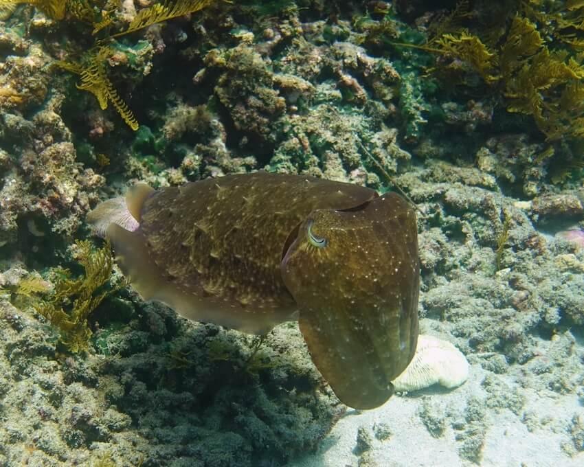 Cuttlefish fish in Padang Bai
