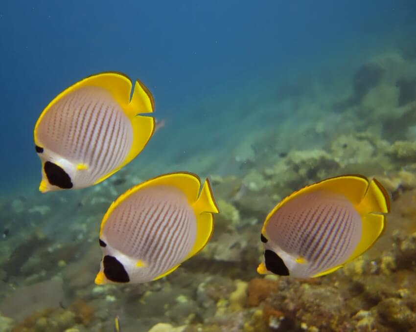 Lined BUTTERFLY FISH in Padang Bai
