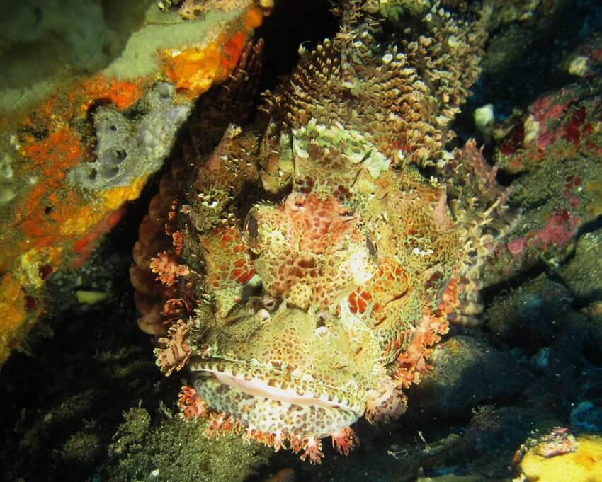 SCORPION Fish at Blue Lagoon diving spot