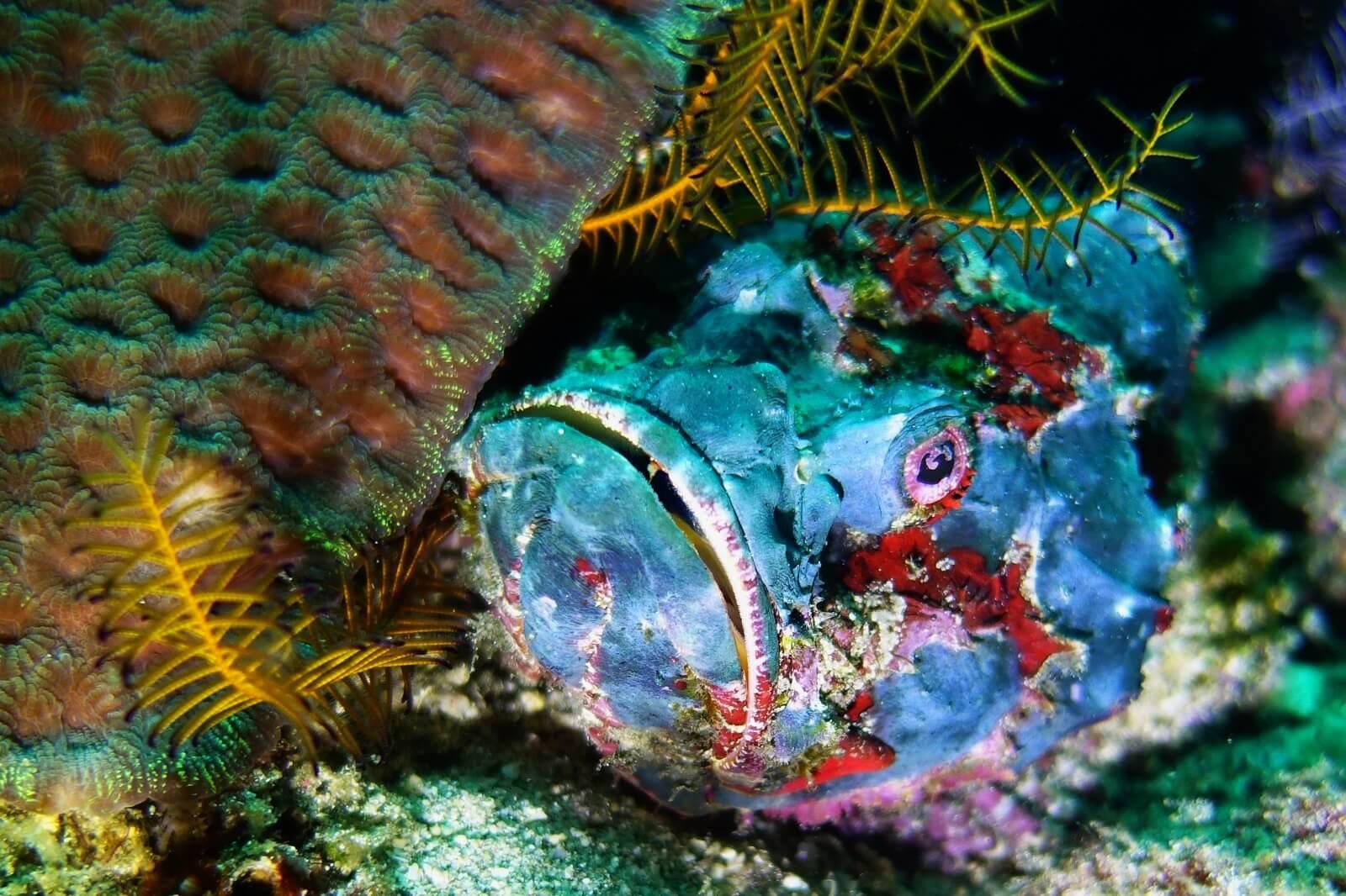 SCORPION FISH Blue Padang Bai Bali