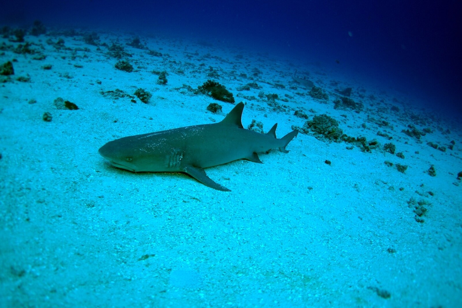 Gili mimpang underwater photography of a Reef Shark