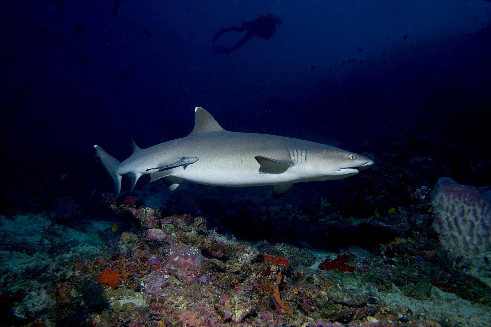 Padang Bai's friendliest sharks